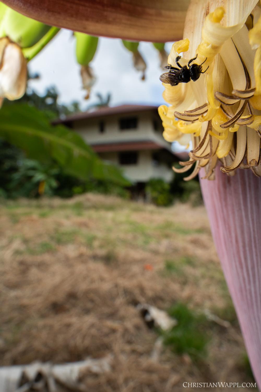 Stingless bee (Meliponini) visiting a banana flower ( Musa  sp.) between army barracks, Panama