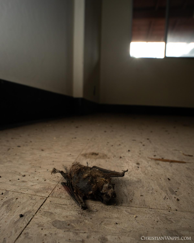 Dead bat inside an army barracks, Panama