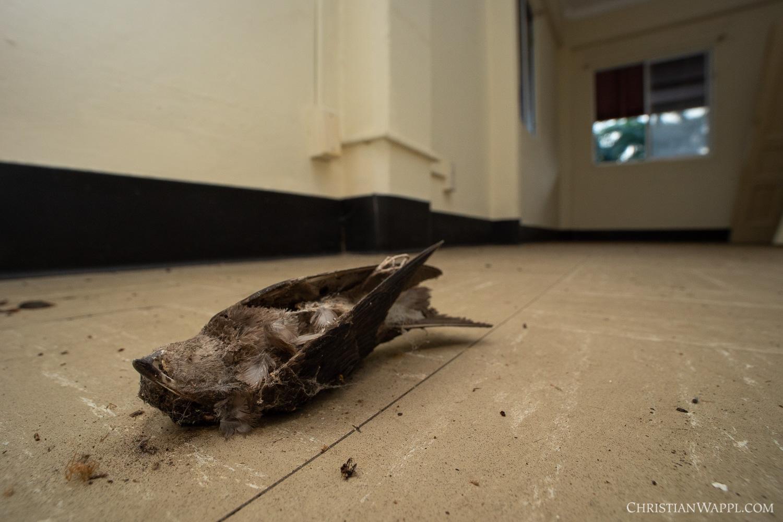 Dead swallow inside army barracks, Panama