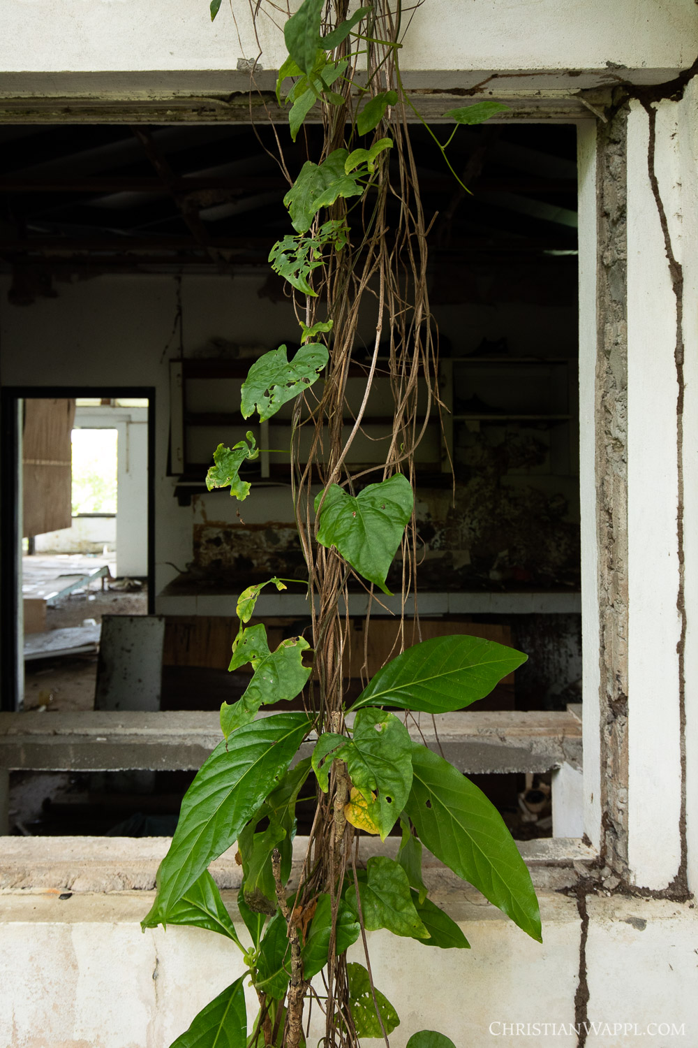 Vines growing in front of a window of a diplomat's villa, Grenada