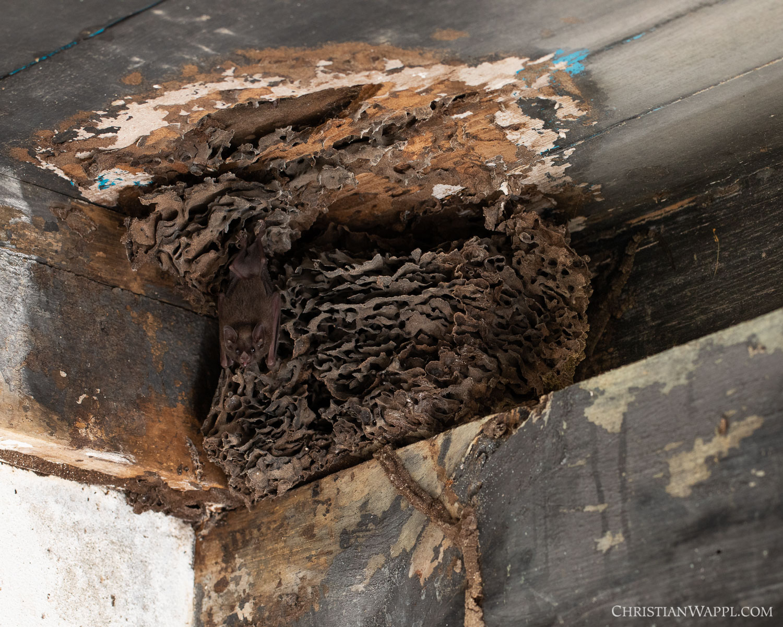Miller's long-tongued bat ( Glossophaga longirostris ), termite nest and gecko in a diplomat's villa, Grenada