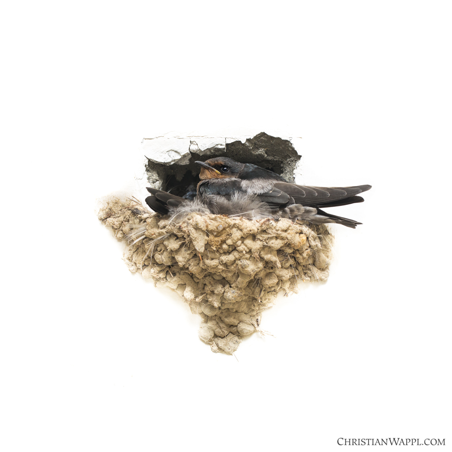 Barn swallows ( Hirundo rustica ) spending the night on an old nest in a golf course, Malaysia