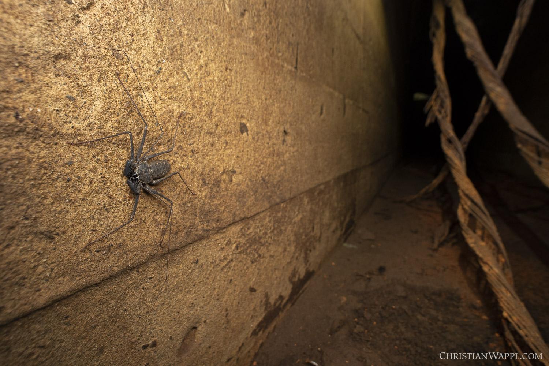 Whip spider (Amblypygii) inside a naval gun battery, Panama