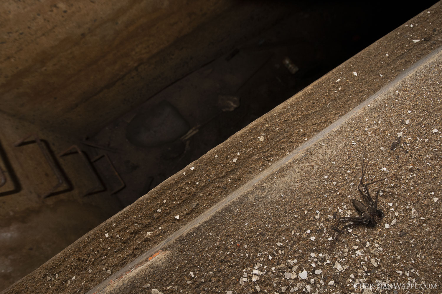 Exuvia of a whip spider (Amblypygii) inside a naval gun battery, Panama