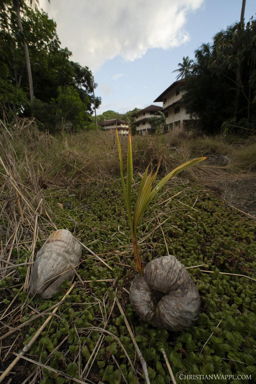 Seedling of the coconut palm (Cocos nucifera) between army barracks, Panama