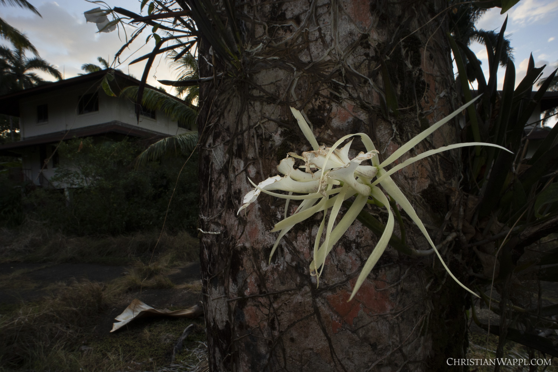 Orchid near army barracks, Panama