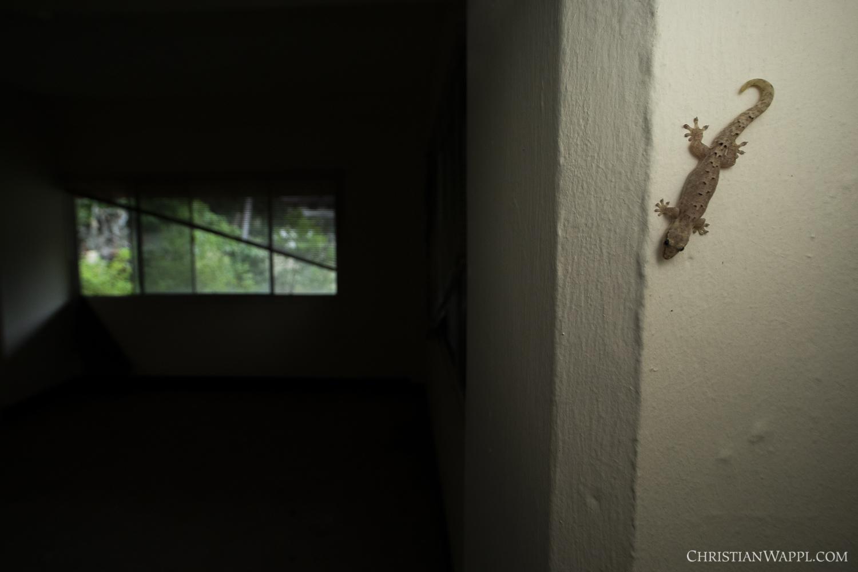 Mourning gecko ( Lepidodactylus lugubris ) inside an army barracks, Panama