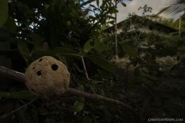 Ant nest under an army barracks, Panama