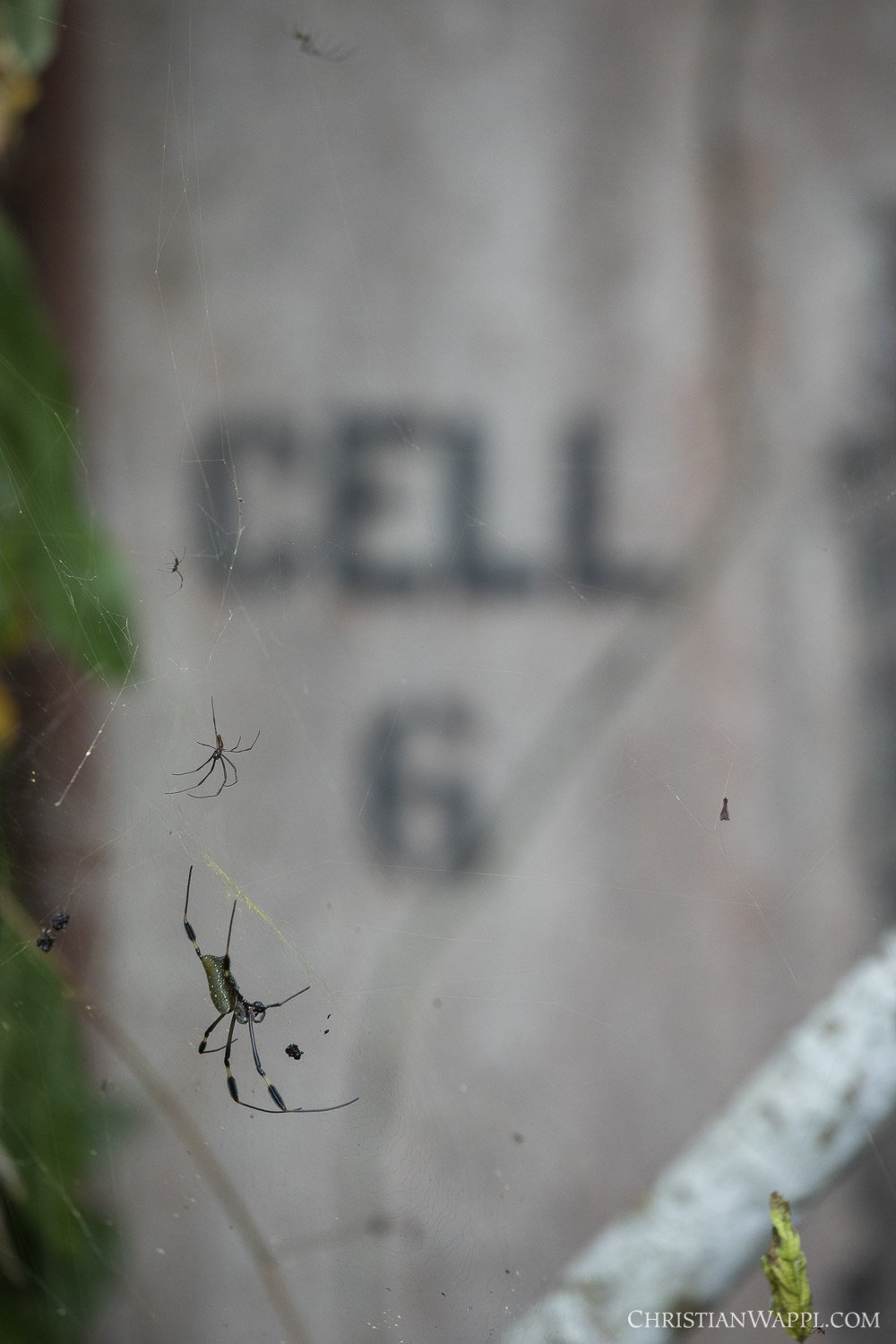 Golden orb weavers ( Nephila clavipes ) in front of a prison cell, Panama