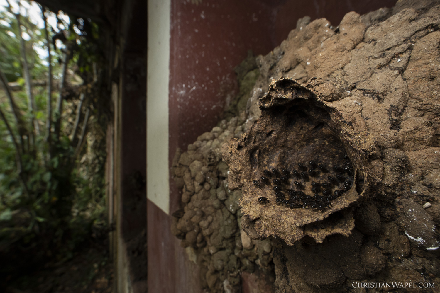 Stingless bees (Meliponini) at the entrance of their nest in a naval gun battery, Panama