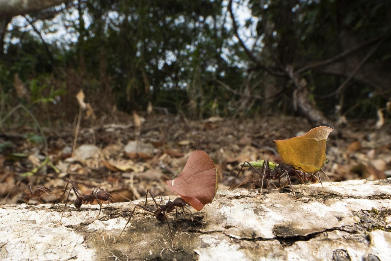 Leafcutter ants ( Atta  sp.), Panama