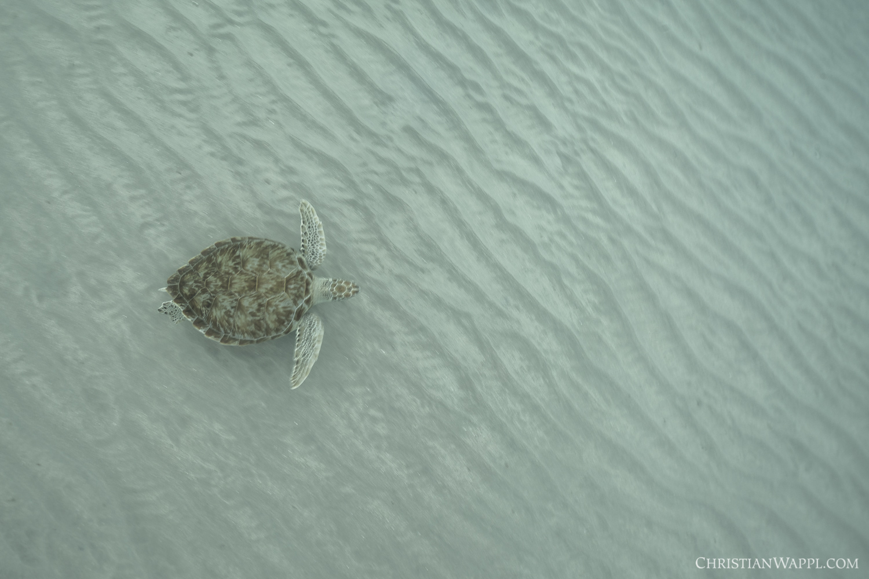 Green turtle ( Chelonia mydas ), Curaçao