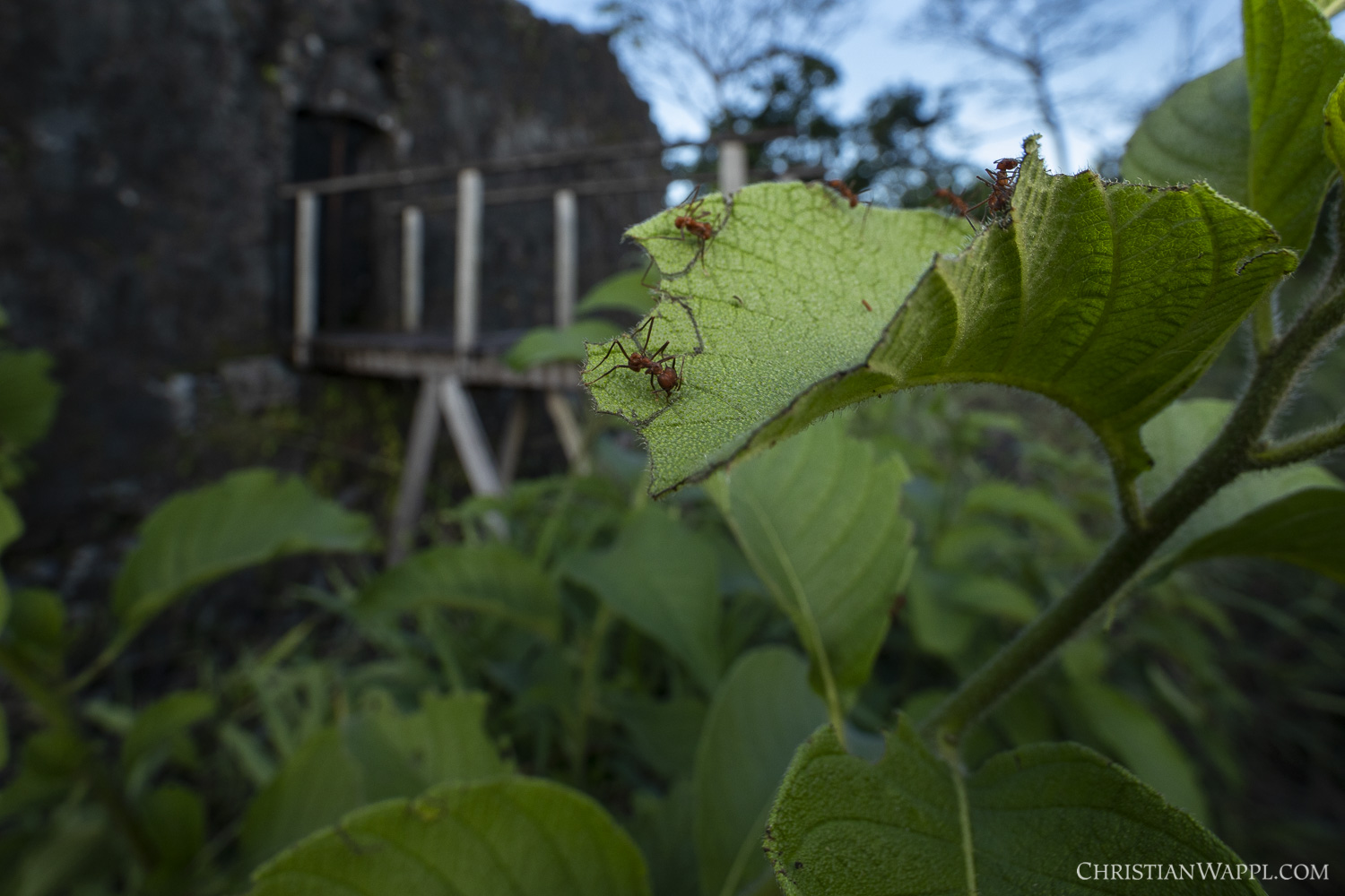 Leafcutter ants  (Atta  sp.) in front of a colonial-era fort, Panama