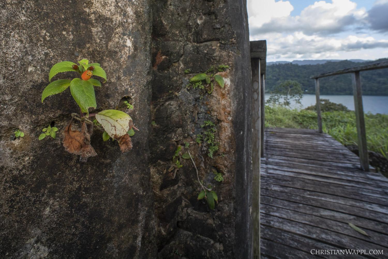 Kohleria ( Kohleria  sp.) growing on the walls of a colonial-era fort, Panama
