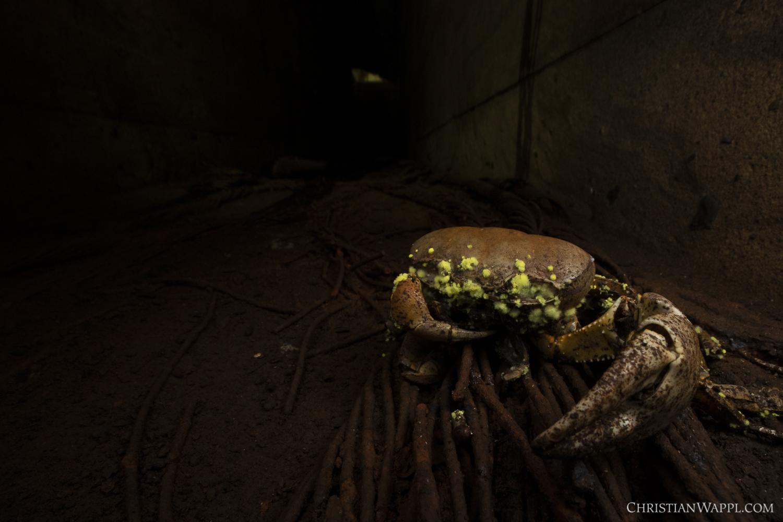 Dead crab (Grapsoidea) colonised by fungus inside a naval gun battery, Panama
