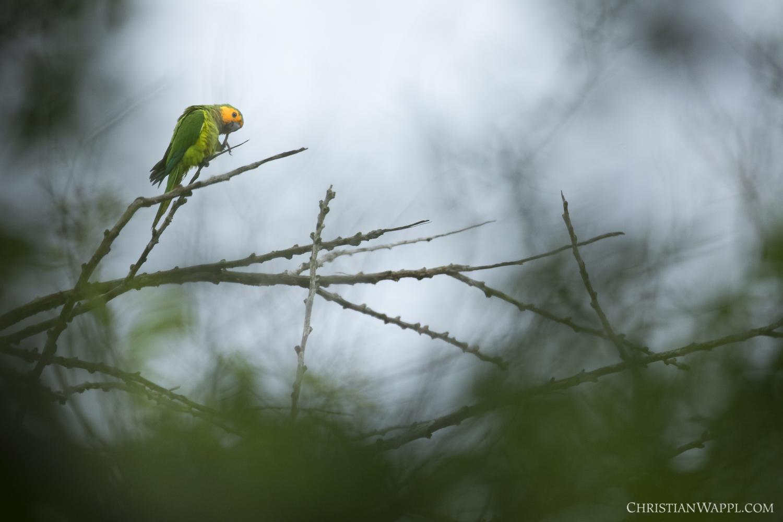 Brown-throated parakeet ( Eupsittula pertinax )