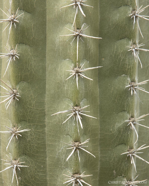 Detail of a Mexican organ pipe cactus ( Stenocereus griseus )