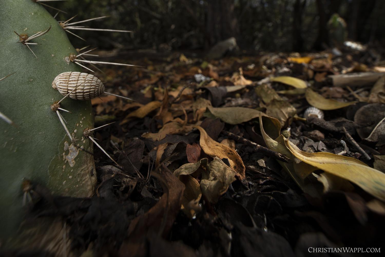 Peanut snail ( Cerion uva ) waiting for better times