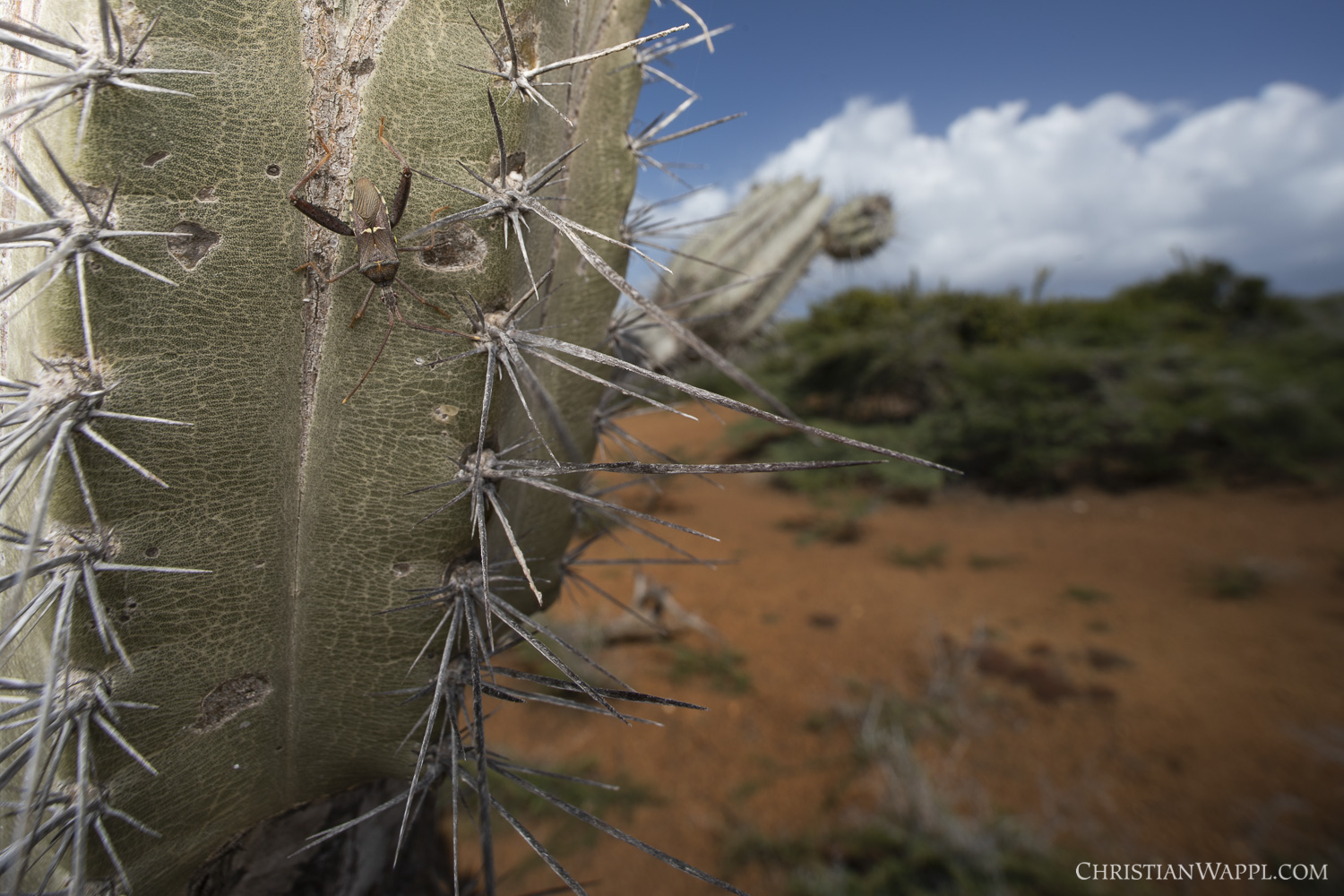 True bug ( Leptoglossus  sp.) on a Mexican organ pipe cactus