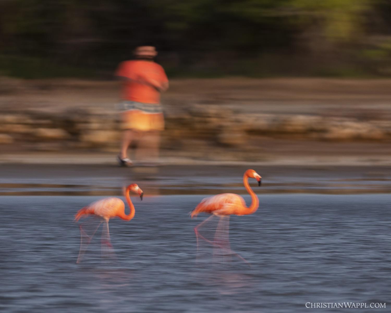 Tourist harassing American flamingoes ( Phoenicopterus ruber )