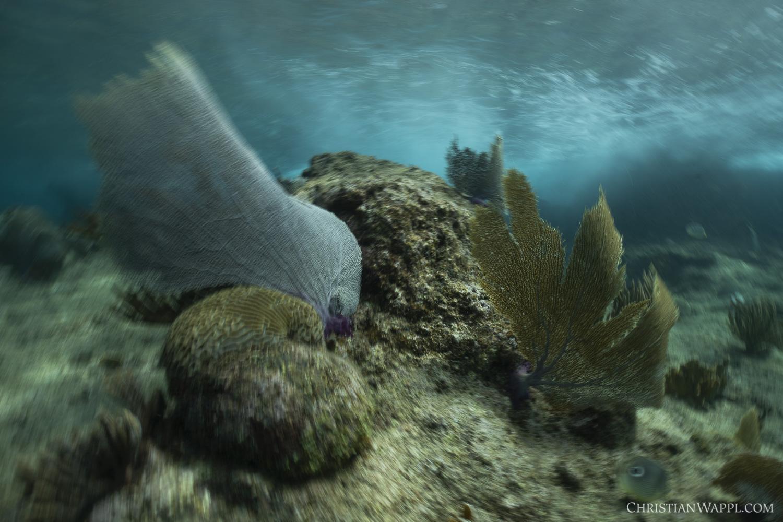 Sea fans ( Gorgonia  sp.)