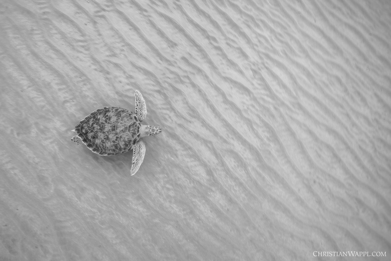 Green sea turtle ( Chelonia mydas)