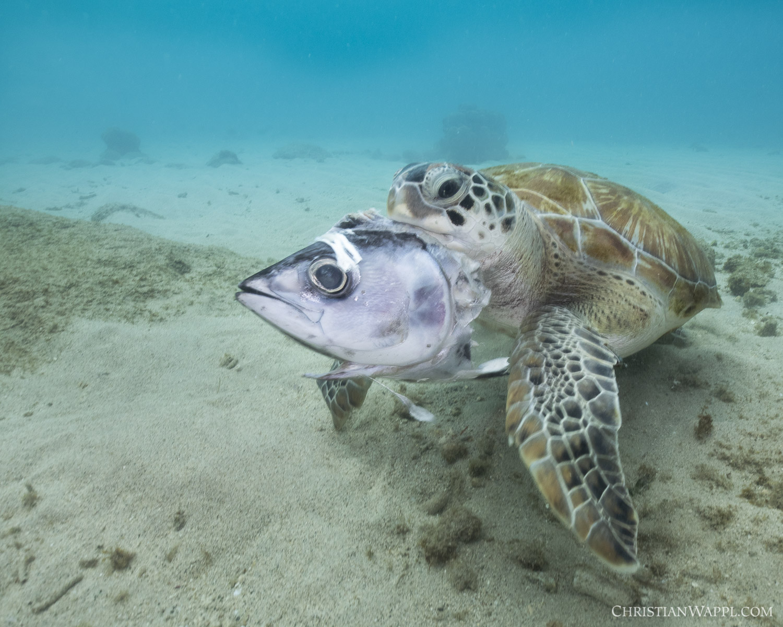 Green sea turtle ( Chelonia mydas )  munching on a discarded tuna fish head