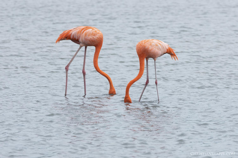 American flamingoes ( Phoenicopterus ruber)  foraging