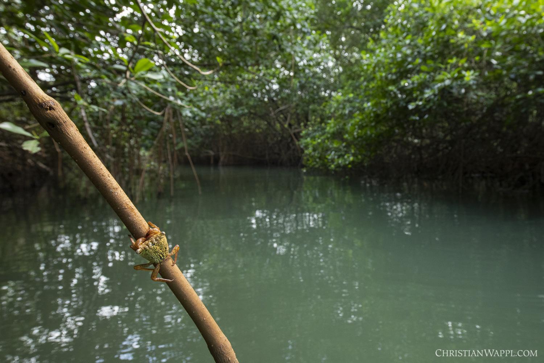 Mangrove tree crab ( Aratus pisonii )