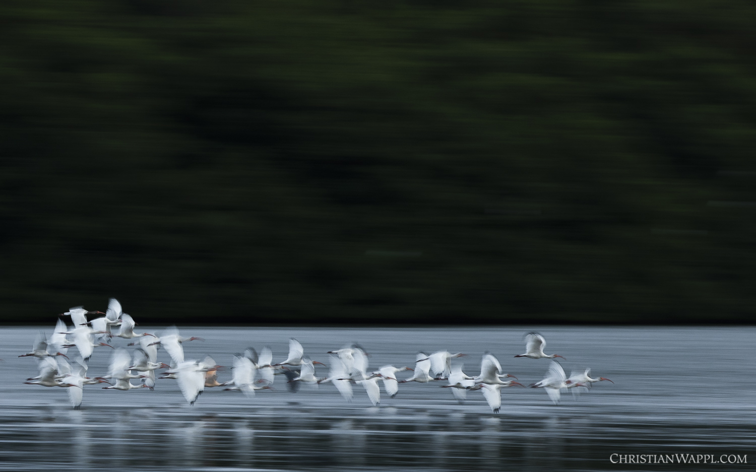 American white ibises ( Eudocimus albus ) flying to their night-time roost