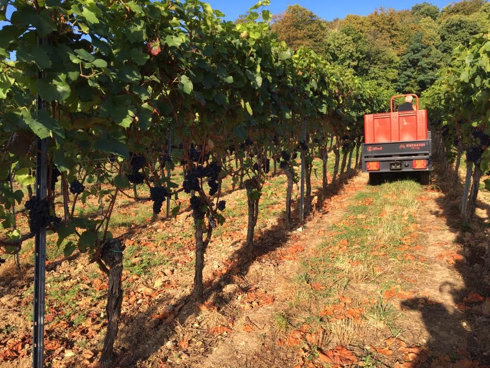 harvesting Pinot Noir.jpg