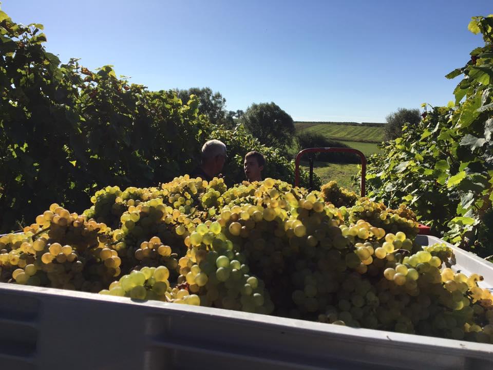 harvesting Pinot Blanc.jpg