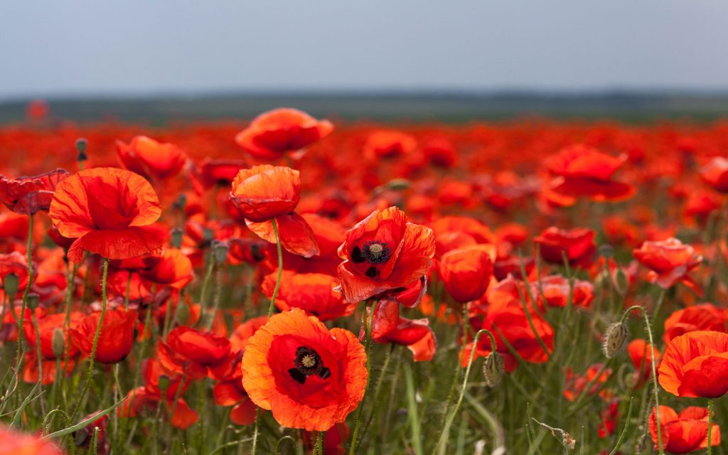 bigstock-Flowers-Red-Poppies-In-The-F-115957118-1024x640.jpg