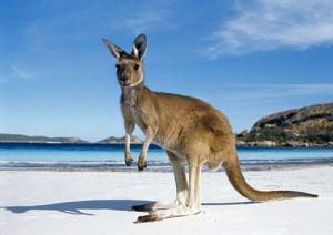 australie-kangourou-300x212.jpg