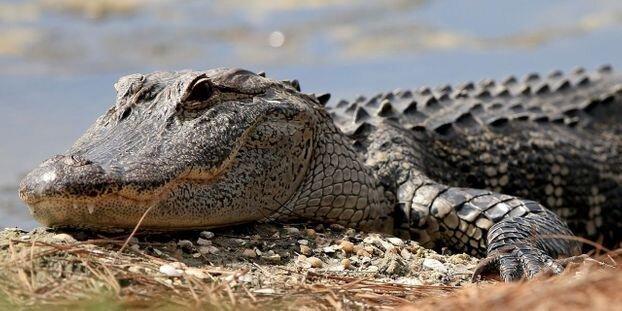Un-crocodile-lui-devore-un-bras-elle-se-marie-a-l-hopital.jpg
