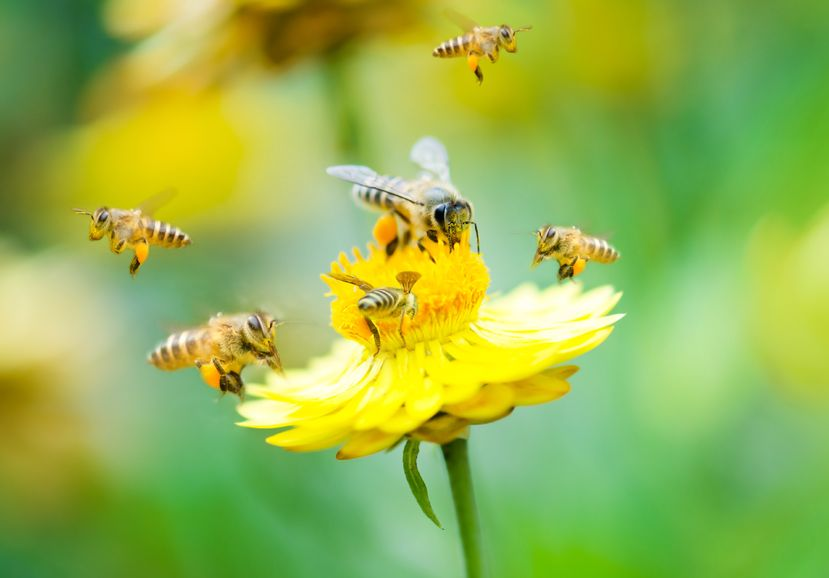 100% Grass Fed Free Range Beef Saves Bees found in study by University California Berkley.