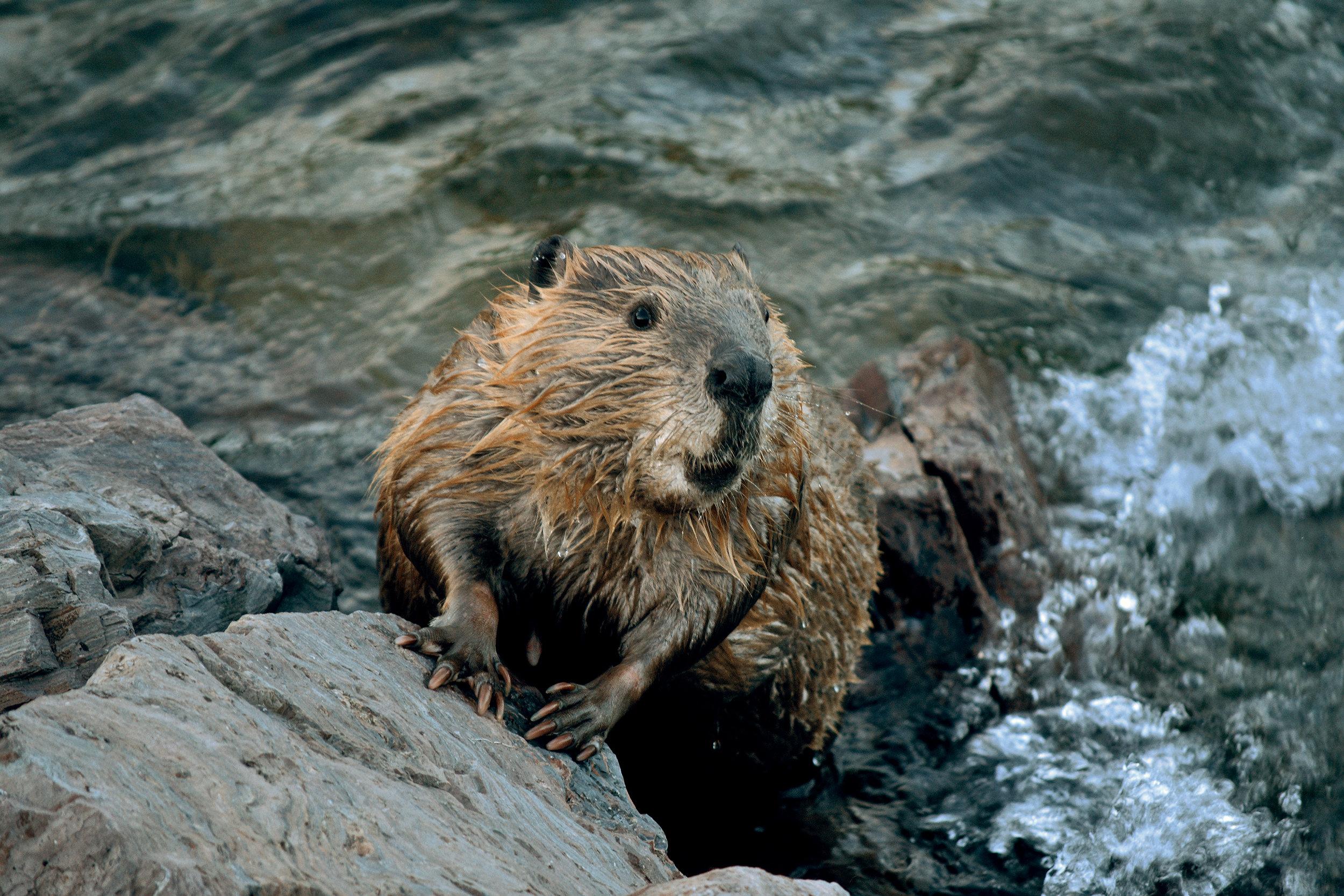 Beaver Web.jpg