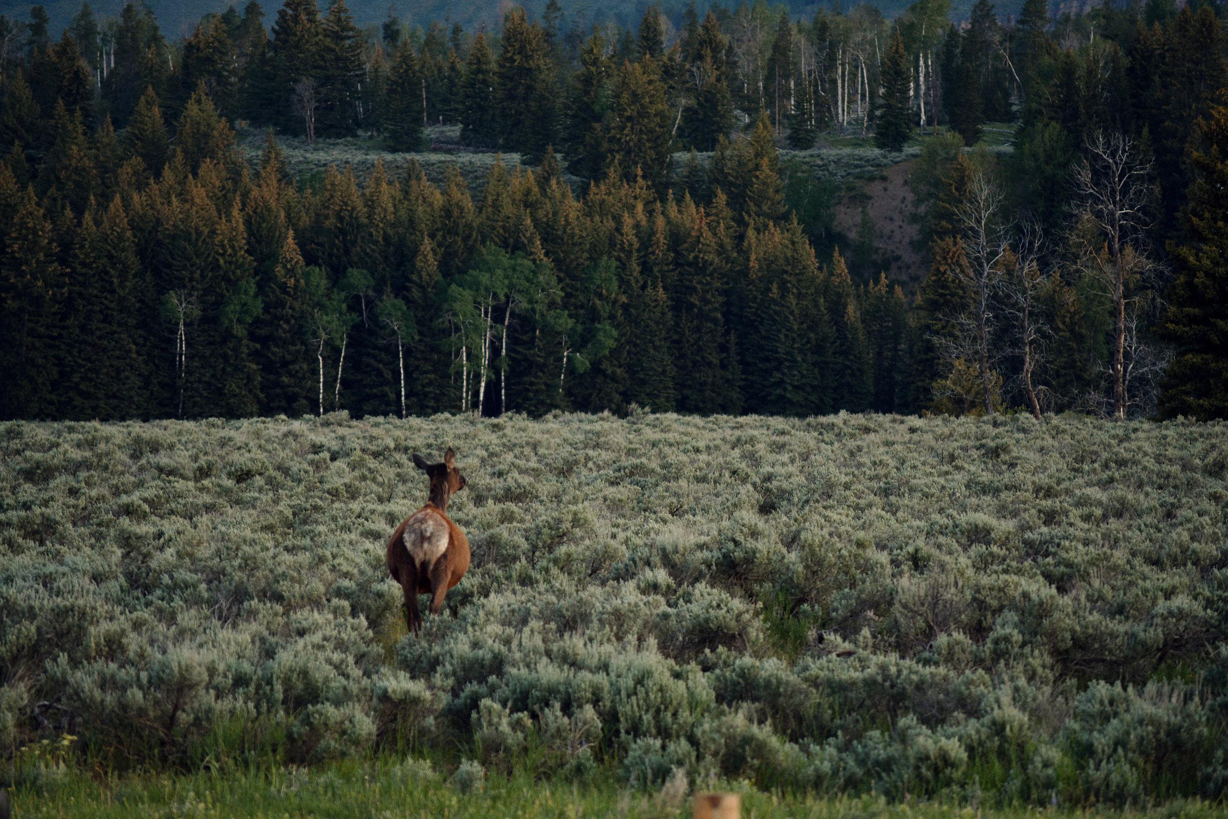Deer in filed web.jpg