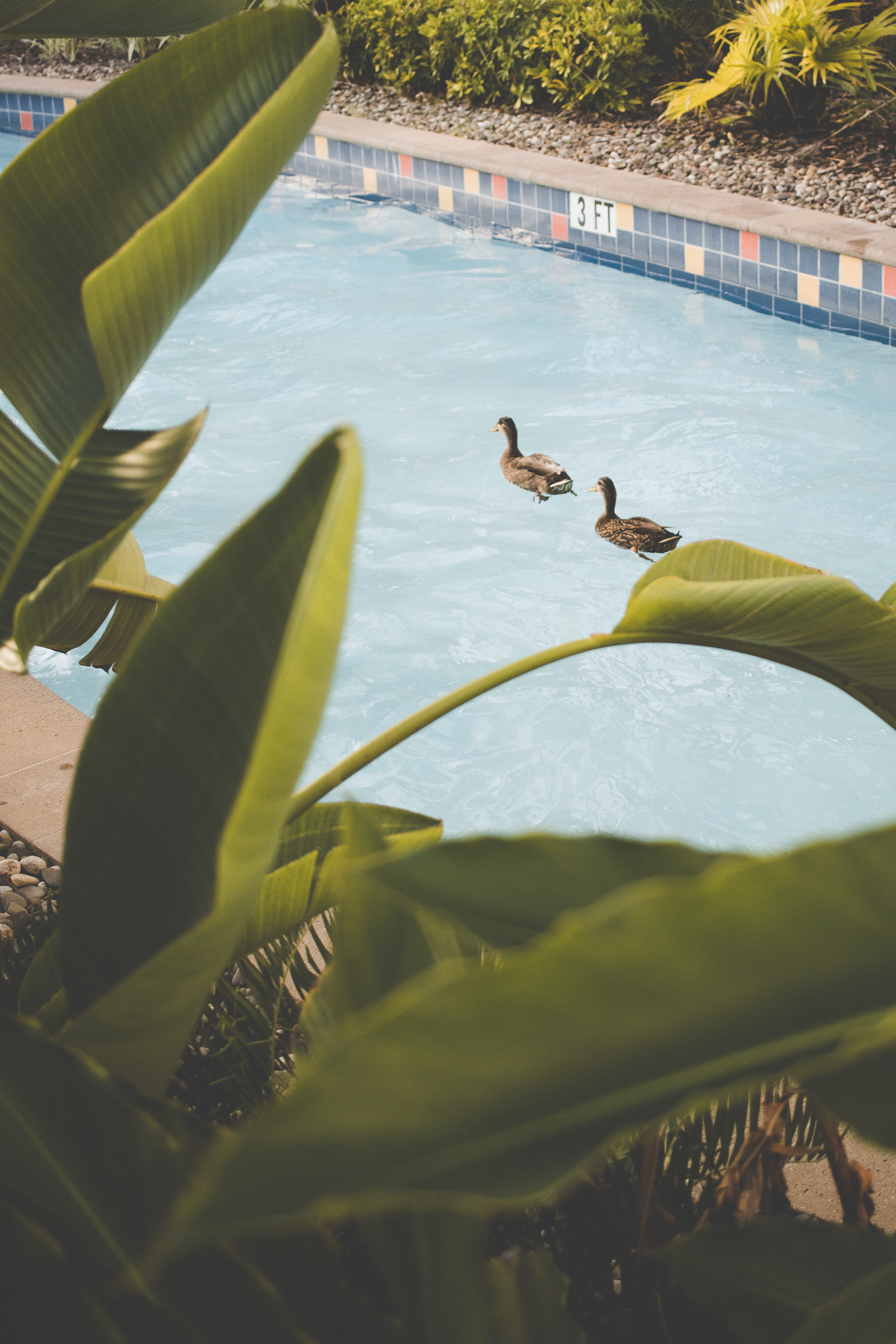 Even the ducks can enjoy the lazy river. Fun fact, the life guard said that all the ducks at Cabana Bay are named.