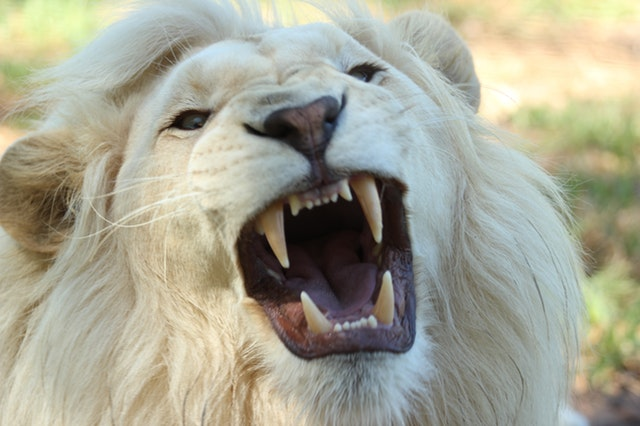 lion-teeth-pexels-photo-68421.jpeg