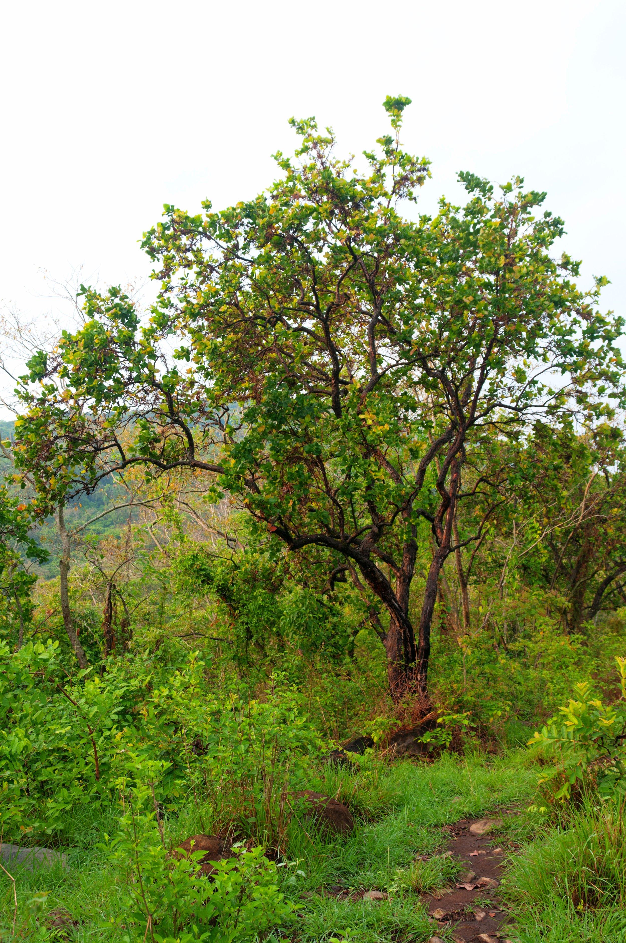 Árbol de Chaparro, Guazapa, San Salvador.