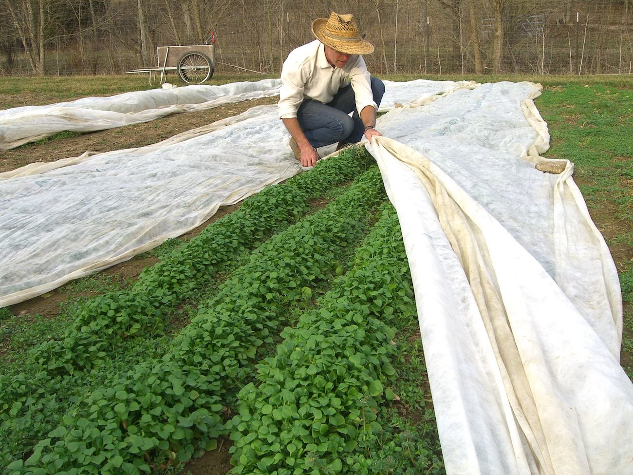 Tobacco cotton helps protect Three Springs Farm's claytonia crop. A pleasant day in February allows for harvesting a bag or two to take to Honeywood.