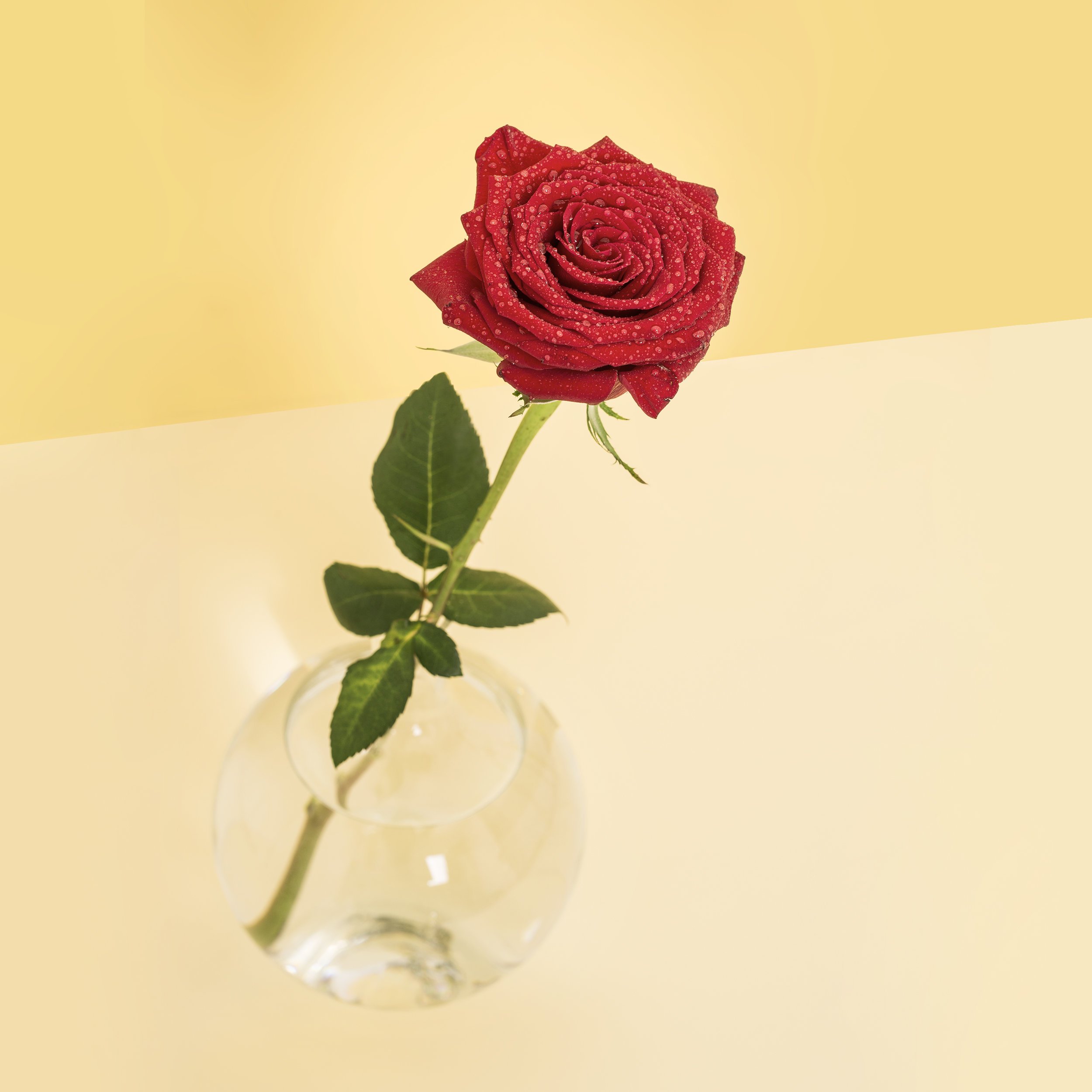 April 29th - Peace Rose Day
