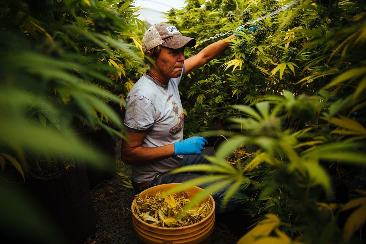 Marijuana Farmer WaPo Story Jan 2018.jpg