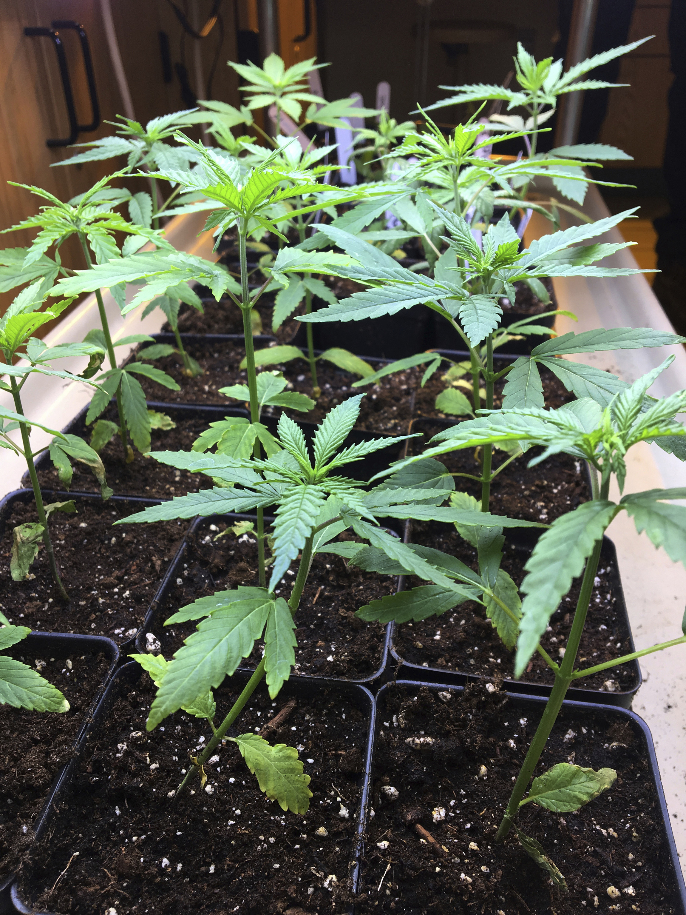 RCP cannabis plant.jpg