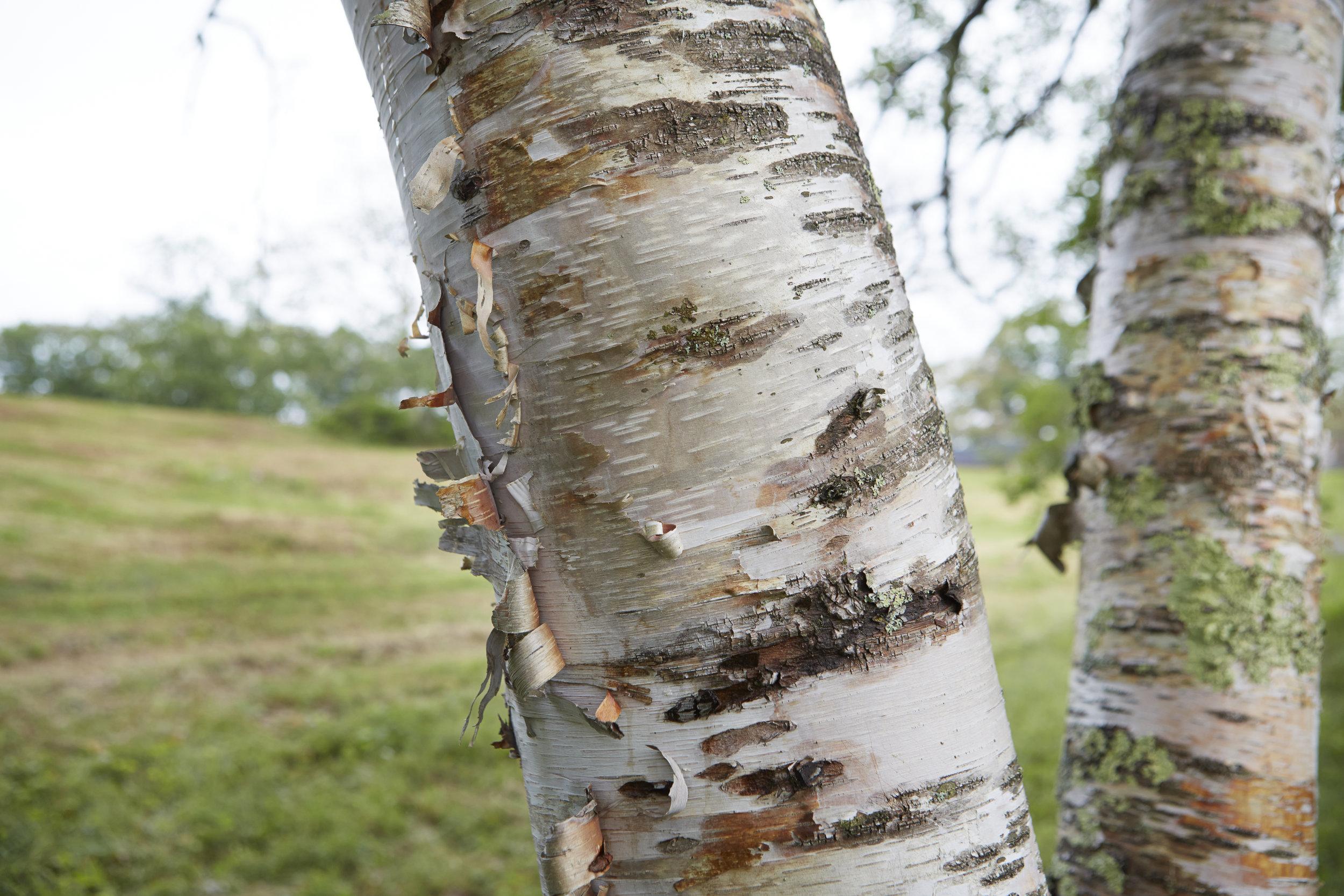 Tops'l_trees_1.jpg
