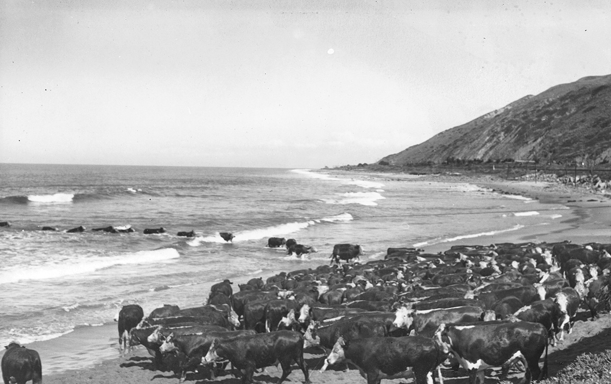 Some years, as many as 7,000 head of cattle swam ashore for a year of grazing on the island's rich grasslands