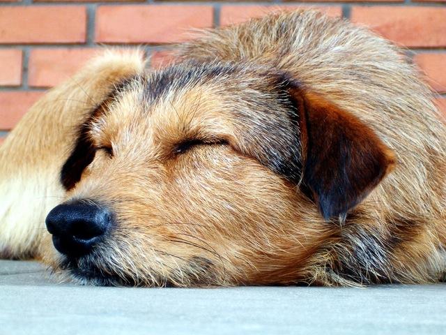 sleep_dog_birchbark_foundation