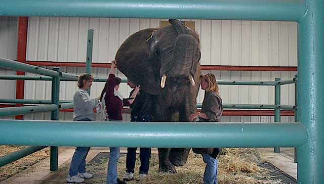 Staff members and Dr. Burtch draw the blood from the back of the elephant's ear.