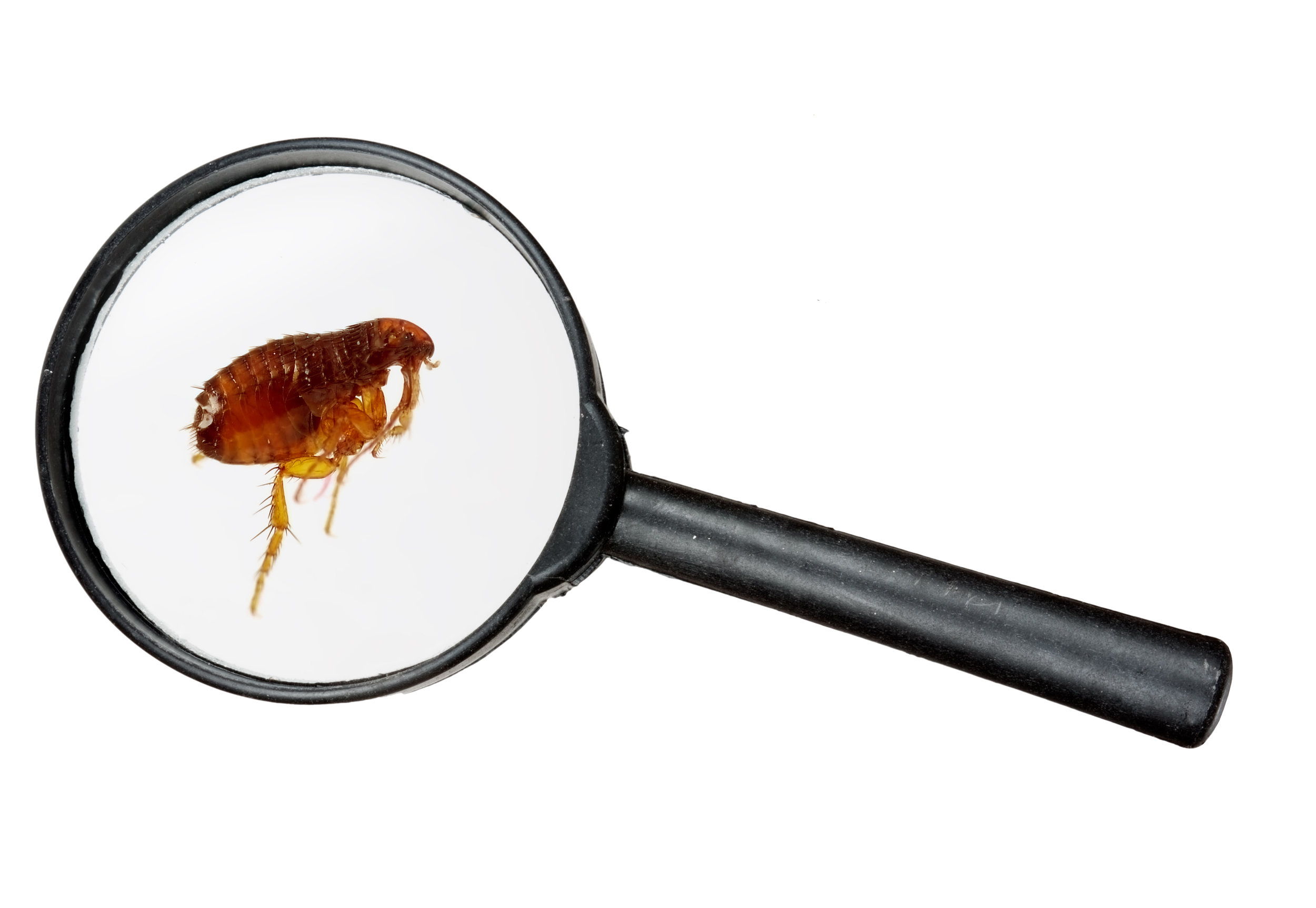 flea.jpeg